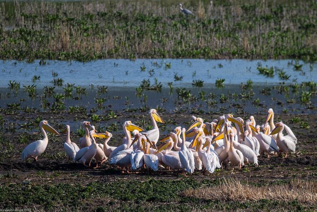 sumar 2017_18_primavara_primii pelicani 4