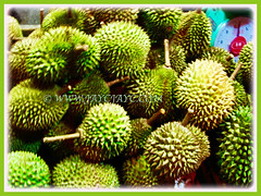 Harvested fruits of Durio zibethinus (Durian, Common Durian, Civet Fruit, Durian Kampong in Malay), 12 July 2009