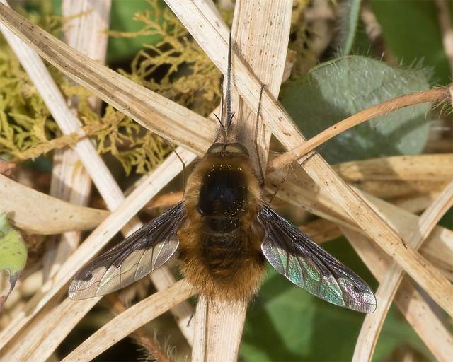 Bee Fly - Bombylius major 02-04-17