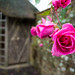 20171118-08_Late Flowering Roses - Baddesley Clinton