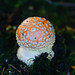 Late-appearing fly agaric, Compton, two days later