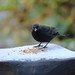 Harry the Blackbird