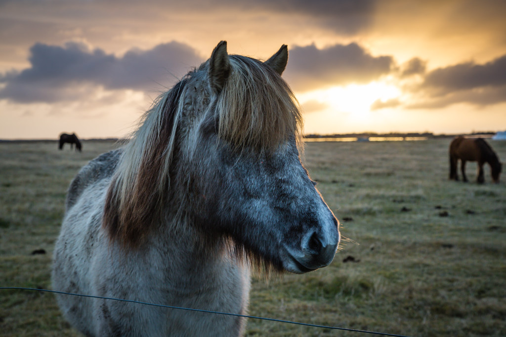 Iceland Horse at Sunset