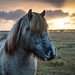 Iceland Horse at Sunset by pictcorrect