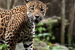 Jaguar (Disclaimer: this is a Jaguar in captivity)