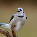 Blue Jay on Antler_43082-.jpg