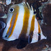 Two-eyed Coralfish - Coradion melanopus