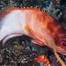 Blacktip Grouper, East Indian Ocean form - Epinephelus fasciatus