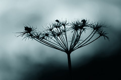 November umbellifer