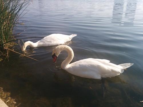 Two swans (3) #toronto #highpark #grenadierpond #birds #swans #white #latergram
