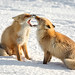 Vos / red fox / renard by Gladys Klip