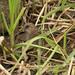 Spotted Crake - Porzana porzana