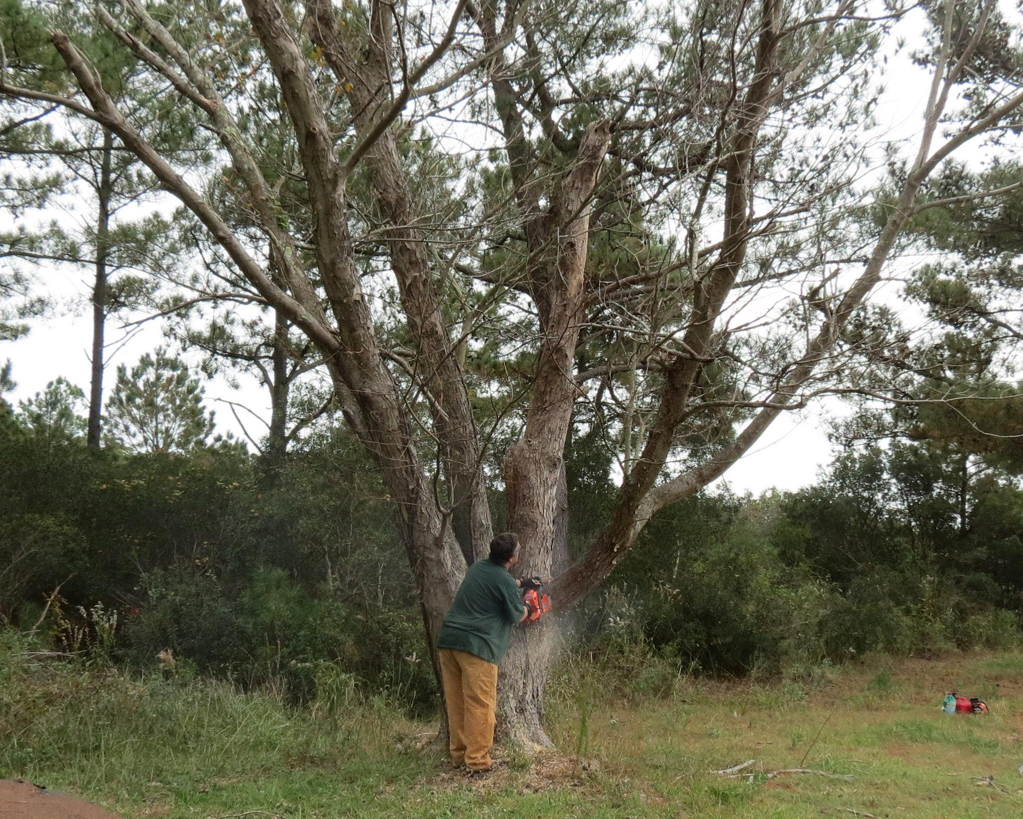 badoaktree
