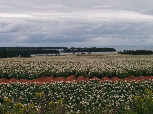 Potato fields stretching from Point Prim Road down to Long Creek (6) #pei #princeedwardisland #belfast #longcreek #potato #potatoes #blossoms #fields #northumberlandstrait #pointprimroad #latergram