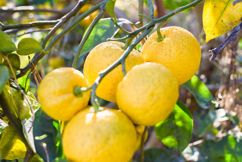 winter citrus,Kabosu