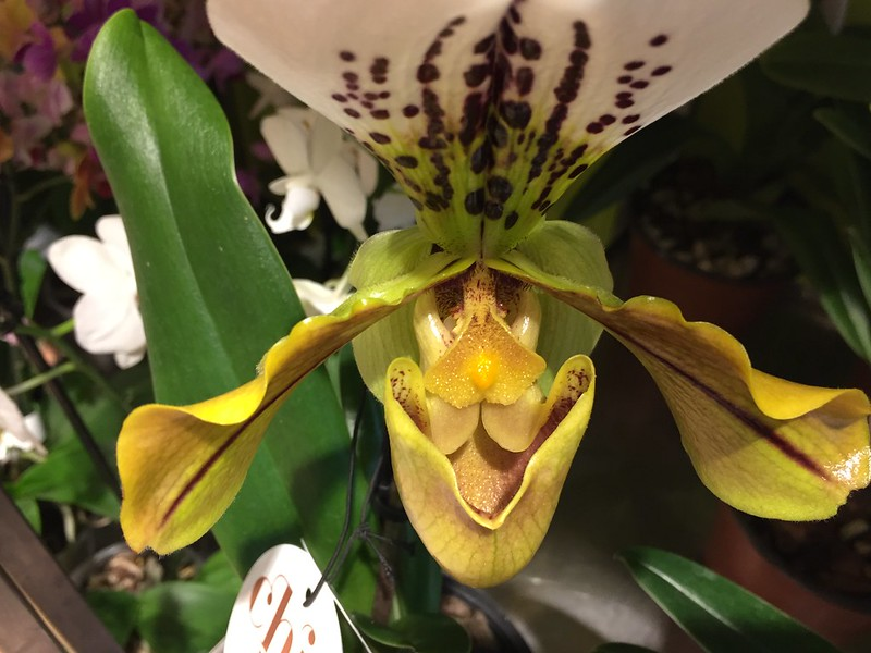 Orchid Lady's Slipper