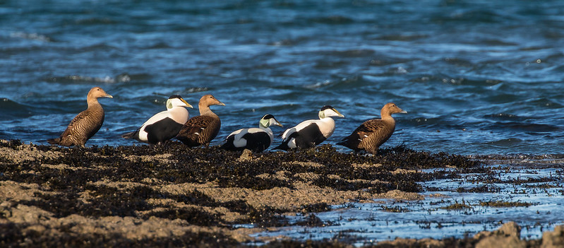 Eider waiting for the tide. 139a_412