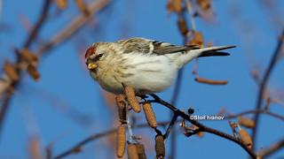 Hoary Redpoll - Acanthis hornemanni