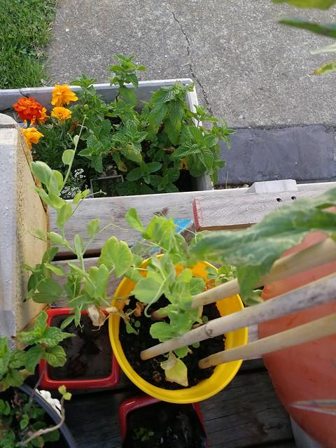 pea planting in pot garden by cas3y