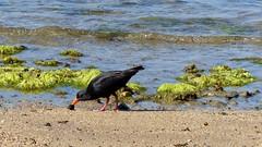 Oystercatcher at Stewart Island