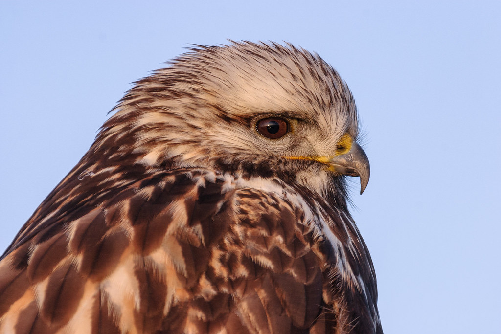 A close-up view of a rough-legged hawk