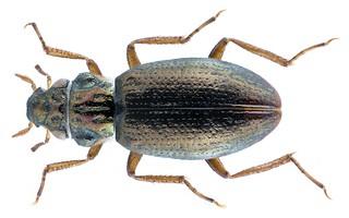 Ochthebius schneideri ssp. schneideri Kuwert, 1887