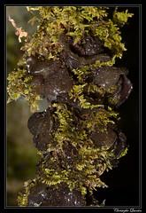 Lathagrium auriforme
