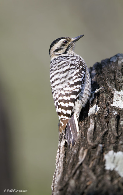 Ladder-backed woodpecker (Dryobates scalaris), Canon EOS 7D, Canon EF 500mm f/4L IS II USM