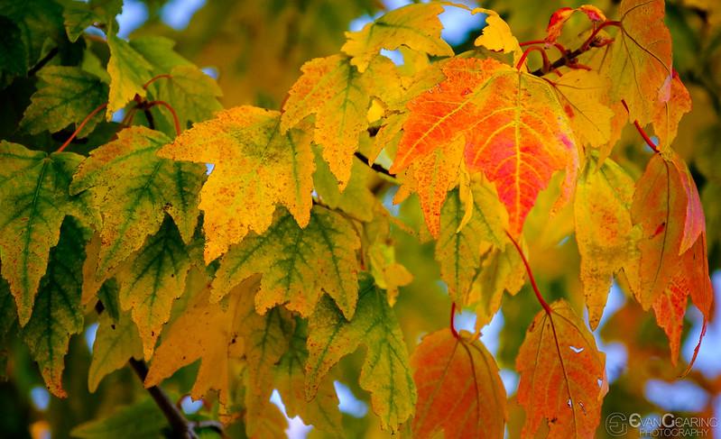 FallFoliage1