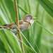 whitethroat 5 08 EJC #