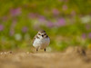 Angry bird - The lesser sand plover