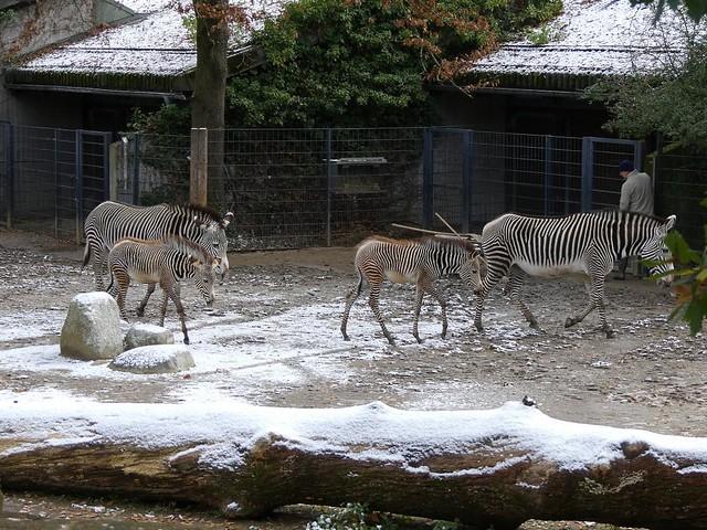 Zebras, Wilhelma