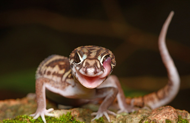 Yucatán Banded Gecko