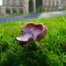 Pink waxcap, Great Malvern churchyard