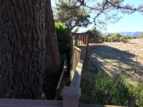 Allepo pines, Monterey pines, root damage IMG_5881