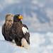 Zeearend / White-tailed eagle / Pygargue à queue blanche / Steller arend / Steller eagle / Pygargue empereur by Gladys Klip