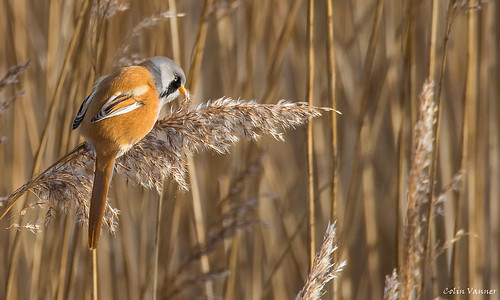Bearded Tit (reedling )