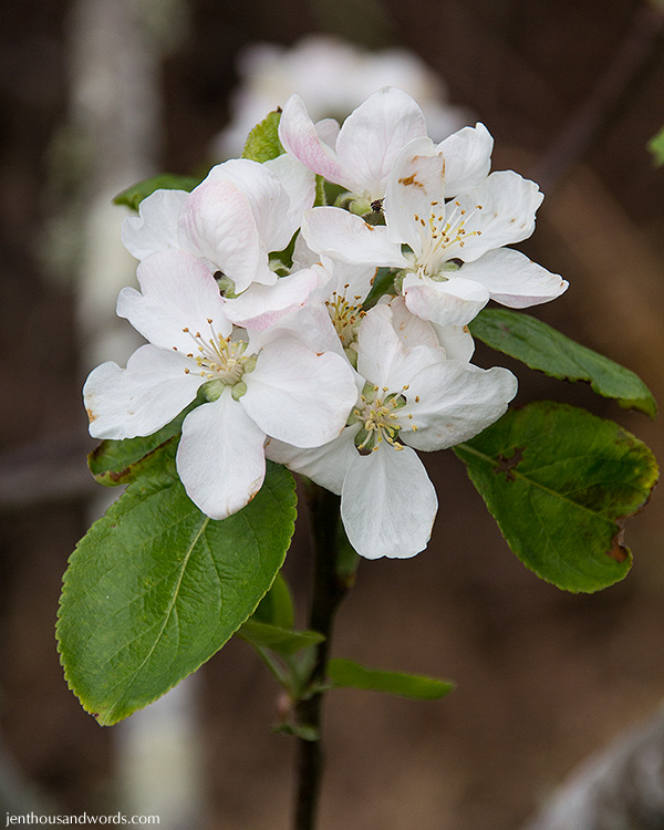 Apple blossom 01