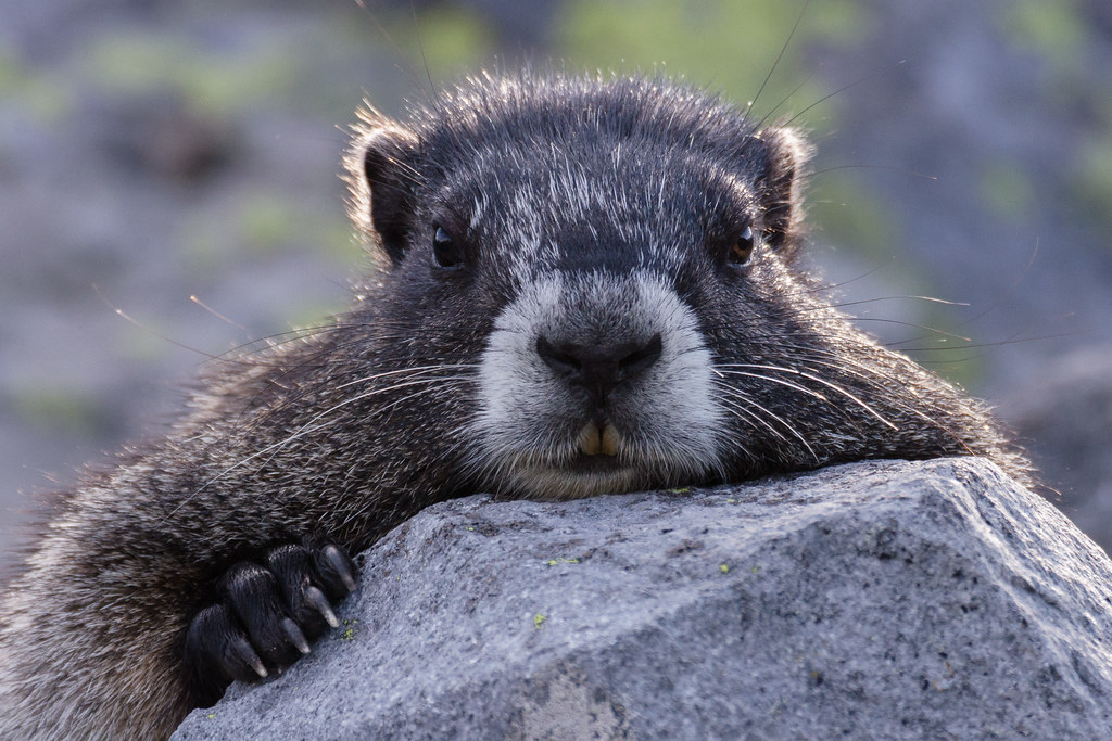 A close-up view of a hoary marmot at the end of the Summerland Trail in Mount Rainier National Park