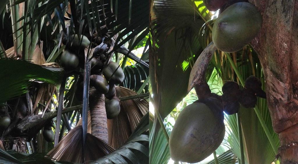 Kokos morski Vallee de Mai