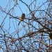 dunnock, hedge sparrows, something else?