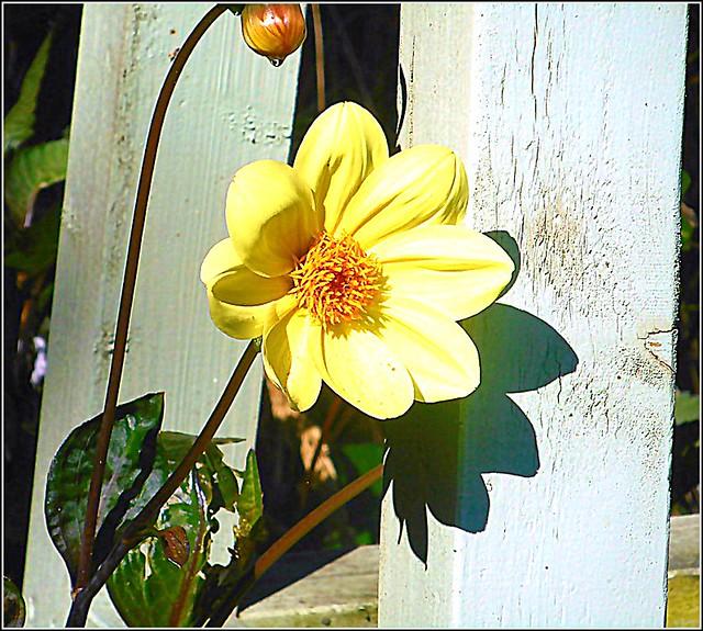 Small Dahlia Flower ..