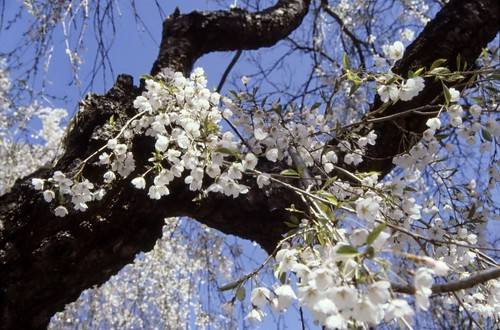 Flowering Tree - Ektachrome - 1987