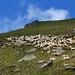 Piemonte - Biellese:Valle Elvo: Roch delle Fate, il gregge