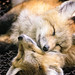 Naptime at Zao Fox Village