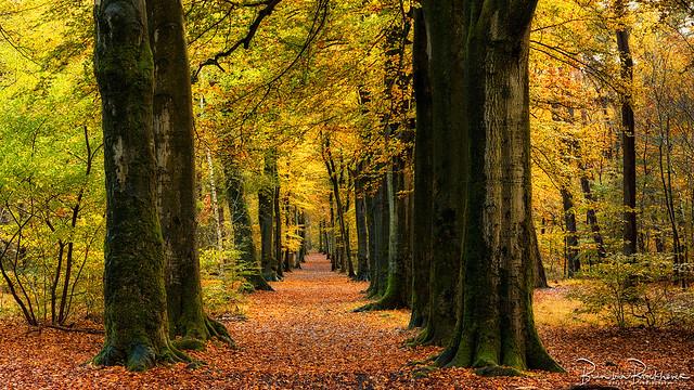 Old trees, narrow path