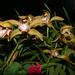 Cymbidium Moira 'Del Norte' hybrid orchid 10-17