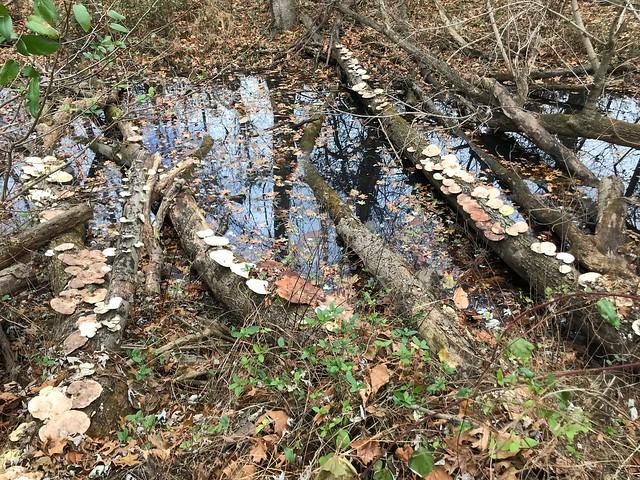 Trametes Aesculi Mushroom