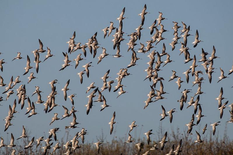 bar tailed godwits 139a_2022