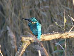 Kingfisher  P1510952